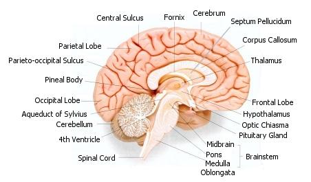 fetal hydrocephalus : corpus callosum diagram - findchart.co